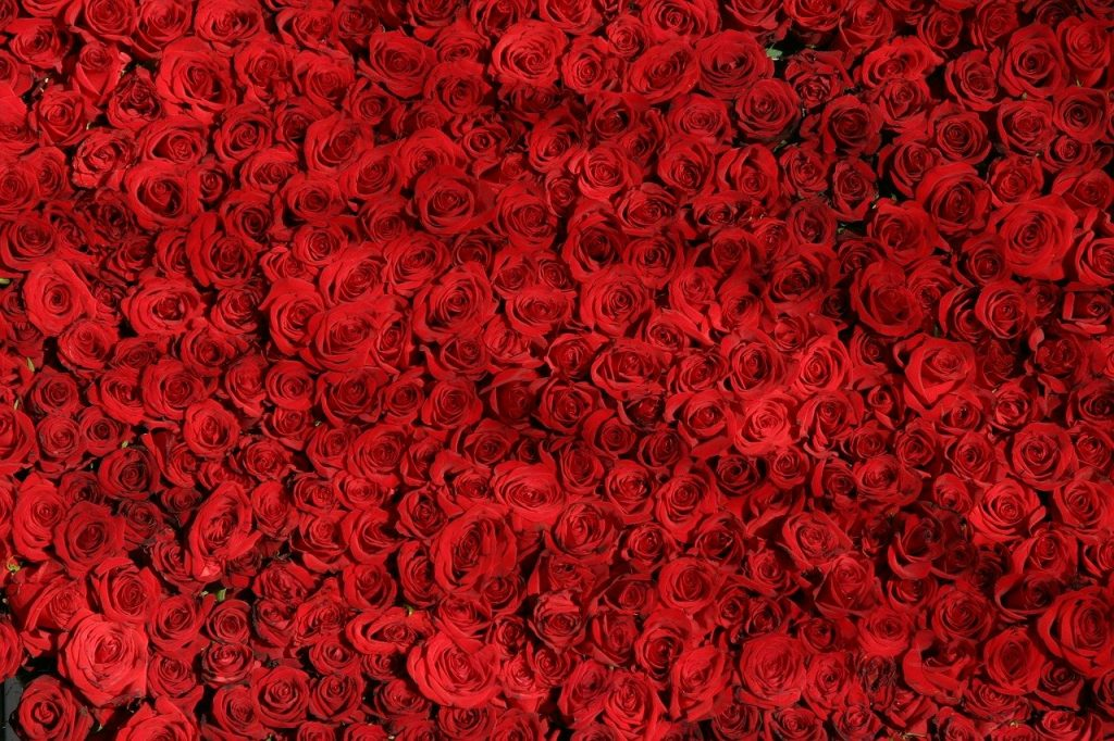 rose, roses, flowers