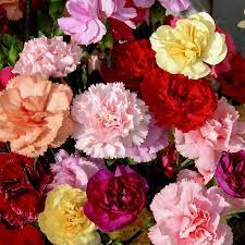 Birth month flower for January- the carnation