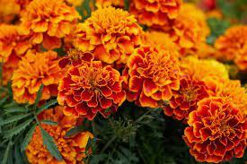 Birth month flower for October- marigold