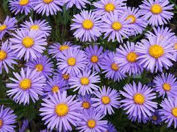 Birth month flower for September- aster