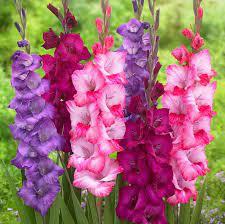 Birth month flower for August- gladiolus