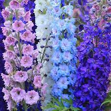 Birth month flower for July- delphiniums