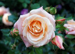 Birth month flower for June- Rose