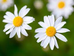 Birth month flower for April- daisies