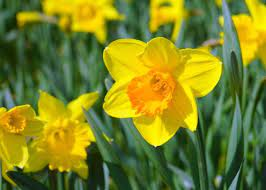 Birth month flower for March- daffodils