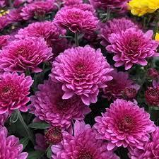 Birth month flower for November- chrysanthemums